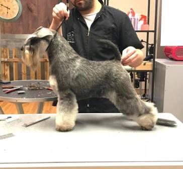 peluqueria canina schnauzer